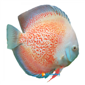 Discus Red Spotted 10cm