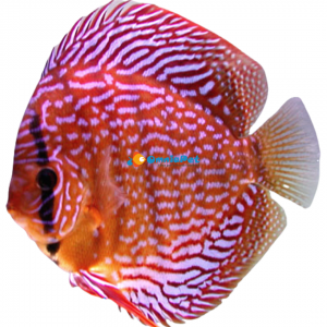 Discus Rosso Turchese Red Scribelt Stendker