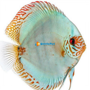 Discus Solid Torquoise Stendker