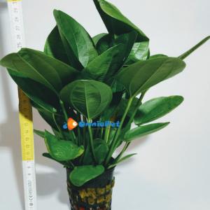 Echinodorus Pianta Madre XL
