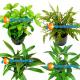 Hygrophila 3 vasetti