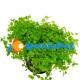 Micranthemum 3 vasetti