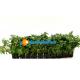 5 Mazzetti Ammania gracilis green